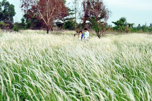 Cánh đồng cỏ lau đẹp như tranh giữa Sài Gòn - 12