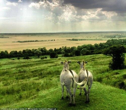 Khoảnhkhắc cặp ngựa vằn cùng nhau nhìn về phía chân trời trong một công viên động vật hoang dã ở miền đông nam Anh. Ảnh: Megan Lee
