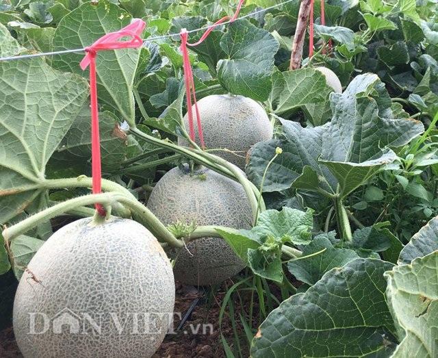 Những trái dưa lưới gần đến ngày thu hoạch.