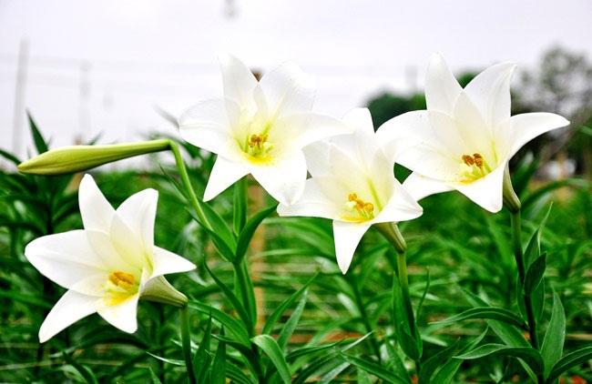 5 loài hoa khiến Hà Nội thơ hơn giữa mùa hạ cháy - 3