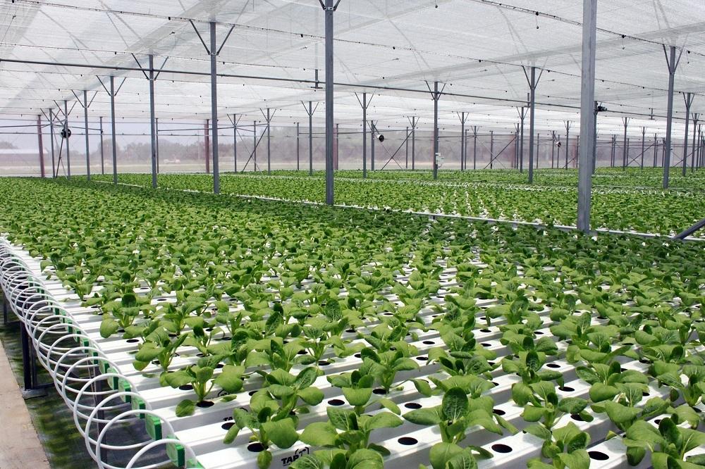 Công nghệ màng mỏng dinh dưỡng (NFT) giúp cây trồng được cung cấp dinh dưỡng trực tiếp đến tận rễ nhằm tối ưu hóa quá trình sinh trưởng