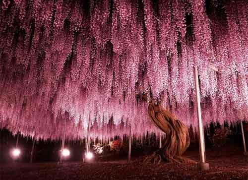 Vẻ lộng lẫy của 16 cây đẹp nhất thế giới - 3