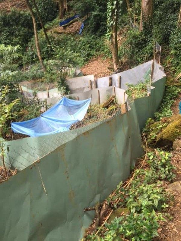 Sâm Ngọc Linh cổ 30.000 USD trong khu vườn 3 triệu USD - 3