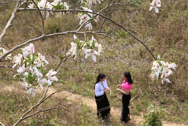 Thiếu nữ Thái e ấp bên hoa ban rừng tháng 3 - 10