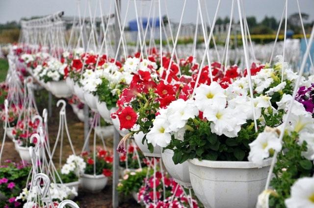 Ảnh: Cánh đồng hoa đẹp như tranh vẽ giữa Sài Gòn - 4