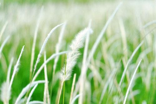 Cánh đồng cỏ lau đẹp như tranh giữa Sài Gòn - 4