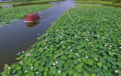Lạc giữa hồ hoa sen đẹp mê hồn ở Trung Quốc - 4