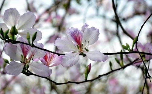 Hoa ban nở trắng rừng Tây Bắc - 4