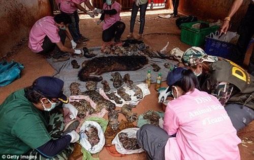 Trước đó, cảnh sát đã thu giữ 40 xác hổ con và xác 1 con gấu con trong tủ đông