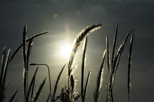 Cánh đồng cỏ lau đẹp như tranh giữa Sài Gòn - 16