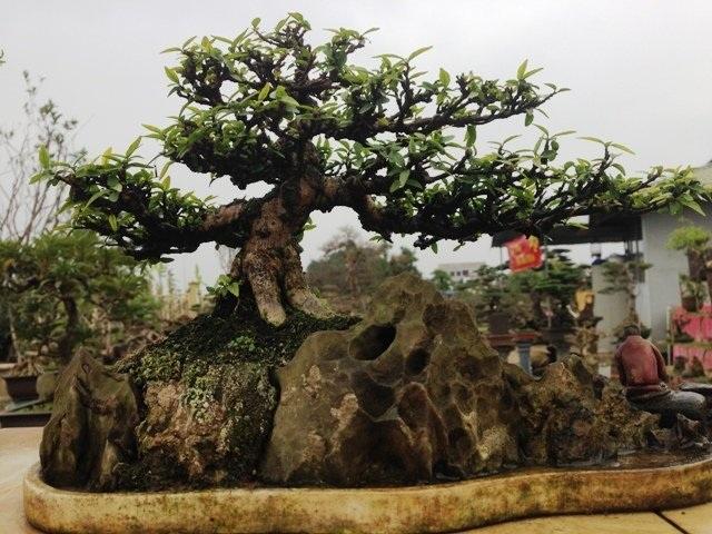 Tác phẩm mai chiếu thủy bonsai ký đá hàng chục năm tuổi.