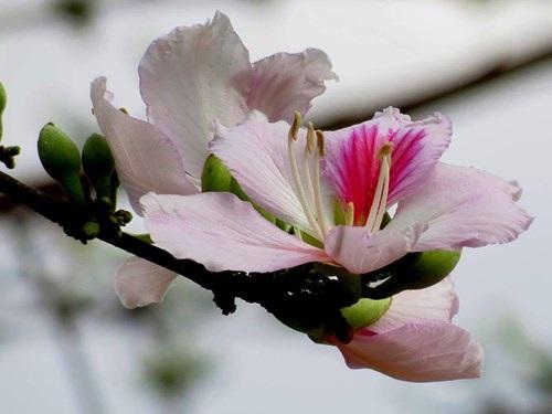 Hoa ban nở trắng rừng Tây Bắc - 5