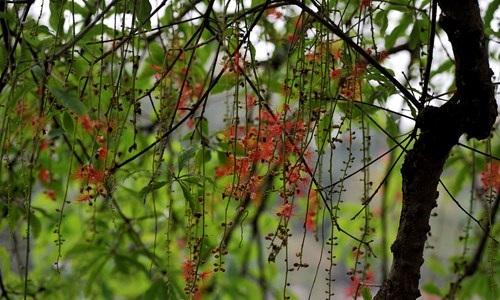 Lộc vừng Hồ Gươm rắc mưa hoa chờ gót son xuống phố - 5