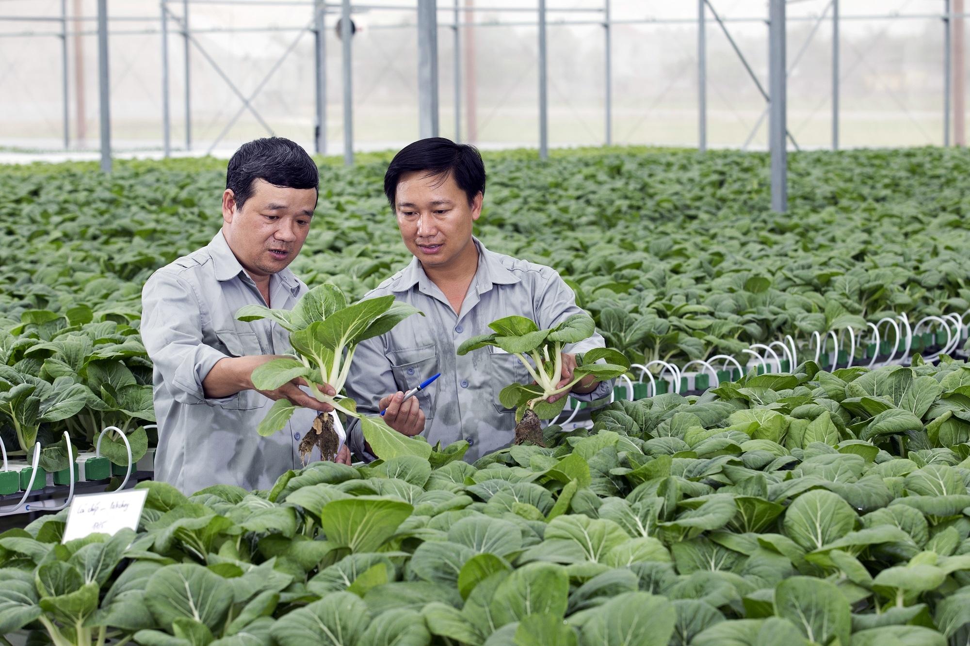 Hệ thống nhà kính rau mầm, rau thủy canh của VinEco đảm bảo năng suất ổn định, đáp ứng nhu cầu rau mầm sạch trong nước mà còn hướng tới xuất khẩu vào các thị trường quốc tế.