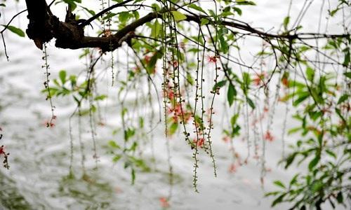 Lộc vừng Hồ Gươm rắc mưa hoa chờ gót son xuống phố - 6