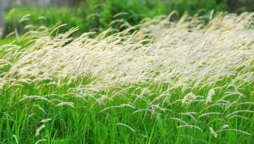 Cánh đồng cỏ lau đẹp như tranh giữa Sài Gòn - 5