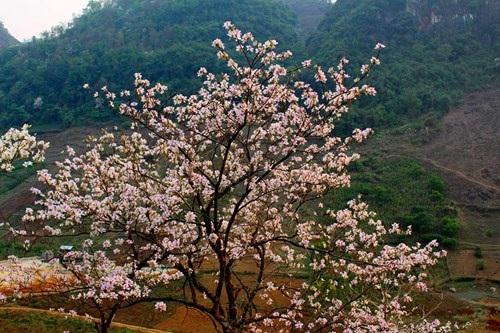 Hoa ban nở trắng rừng Tây Bắc - 7