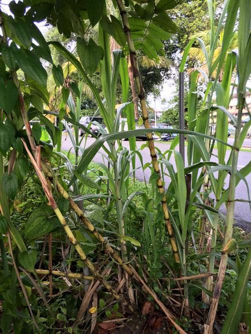 """""""Phát ghen"""" với vườn rau 20 loại của nàng dâu Việt ở Malaysia - 34"""