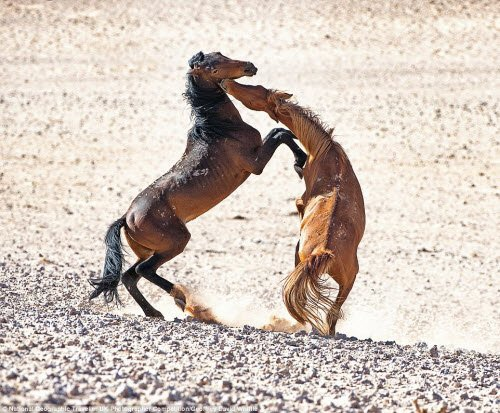 Cặp ngựa hoang quyết chiến ác liệt trên sa mạc Namib, miền nam châu Phi. Ảnh: Geoffrey David Whittle