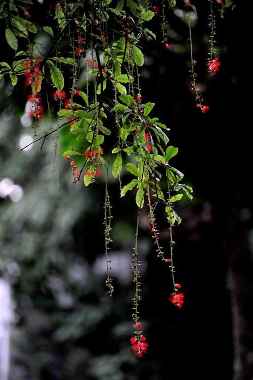 Lộc vừng Hồ Gươm rắc mưa hoa chờ gót son xuống phố - 8
