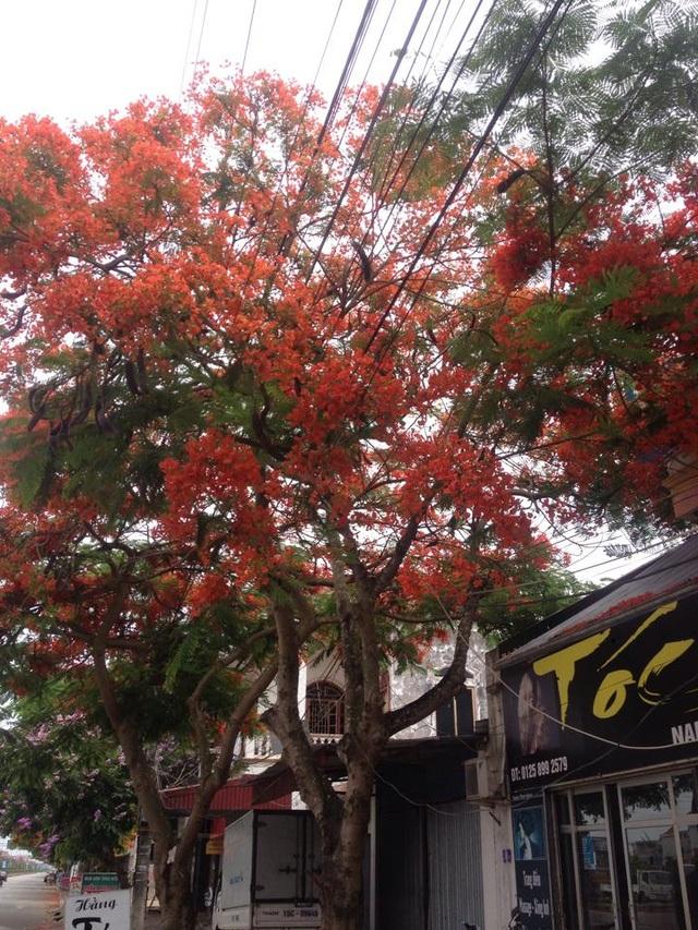 Ngắm vẻ đẹp nao lòng của đường hoa phượng dài nhất Việt Nam - 8