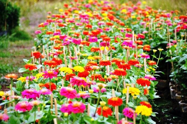 Ảnh: Cánh đồng hoa đẹp như tranh vẽ giữa Sài Gòn - 9