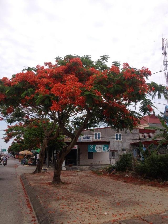 Ngắm vẻ đẹp nao lòng của đường hoa phượng dài nhất Việt Nam - 9