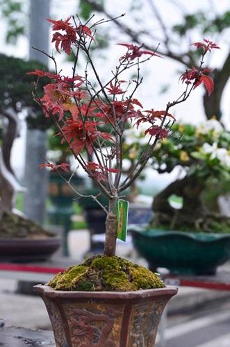 Cây phong đỏ độc đáo, hiếm gặp
