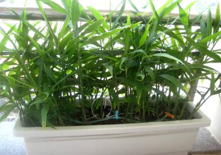Gừng có thể sinh trưởng phát triển tốt khi trồng trong thùng xốp (Ảnh: Internet)