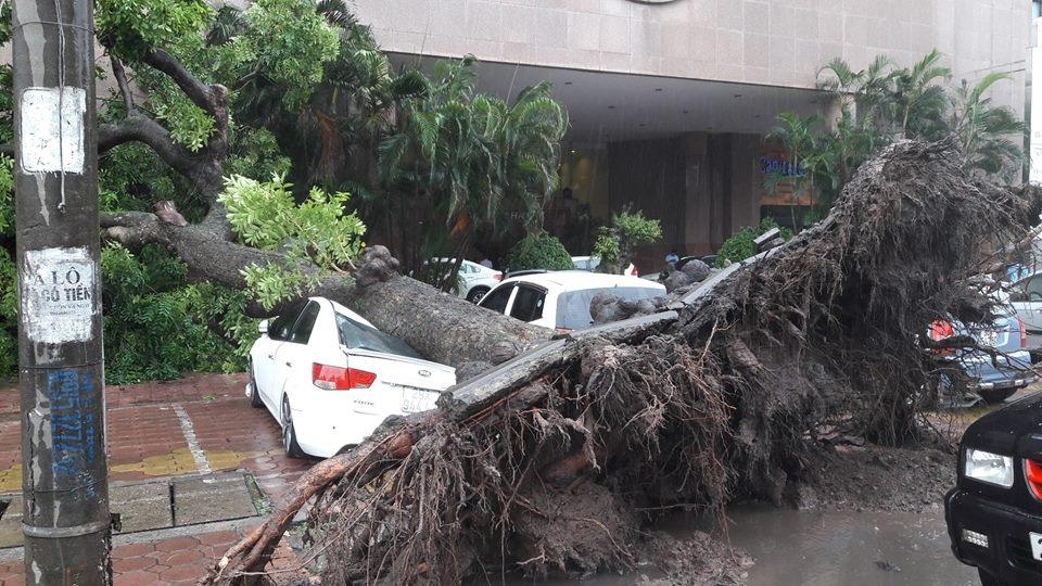 Trong cơn bão số 3, tại Hà Nội có cây to bật gốc nhưng được đánh giá là do cây đã mất phần lớn bộ rễ chứ không phải do bão mạnh. (Ảnh: Phi Quang)