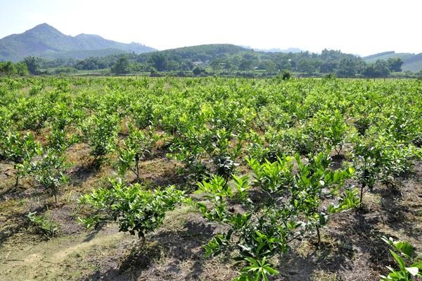 Số cây chanh vừa mới được trồng của trang trại anh Khổng Văn Nam