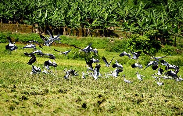 Đàn cò nhạn bay kiếm mồi ở khu vực xã Bản Qua, huyện Bát Xát (ảnh chụp ngày 31/5)