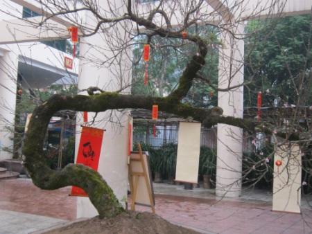 Được biết, cây đào này được anh Phạm Văn Thắng mang ở vùng núi Sapa (Lào Cai) về chăm sóc cách đây 10 năm.