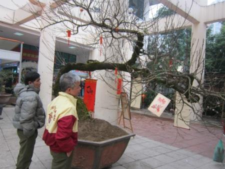 Theo kinh nghiệm của những người trồng đào thì tuổi đời cây đào rừng này là trên 70 năm.