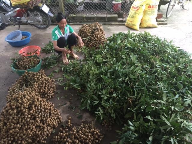 Các hộ dân bi thu hồi đất đối diện với thực tế bị mất nghề sau 20 năm đầu tư nghiên cứu trồng nhãn lồng.