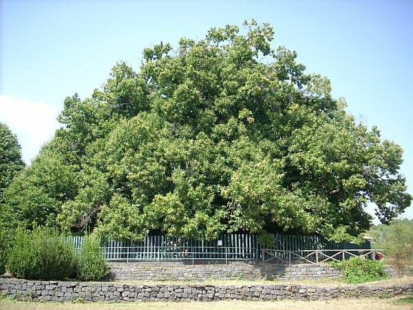 """Top 10 cây cổ thụ """"lão làng"""" nhất thế giới - 2"""