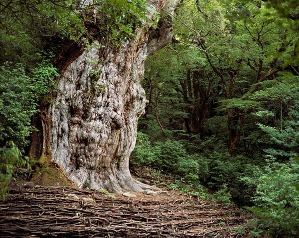 """Top 10 cây cổ thụ """"lão làng"""" nhất thế giới - 3"""