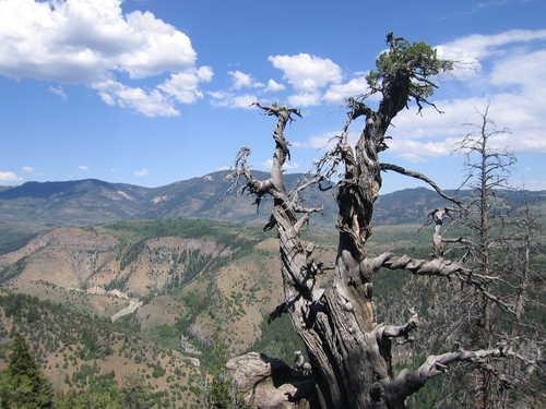 """Top 10 cây cổ thụ """"lão làng"""" nhất thế giới - 4"""