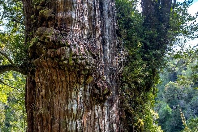 """Top 10 cây cổ thụ """"lão làng"""" nhất thế giới - 7"""