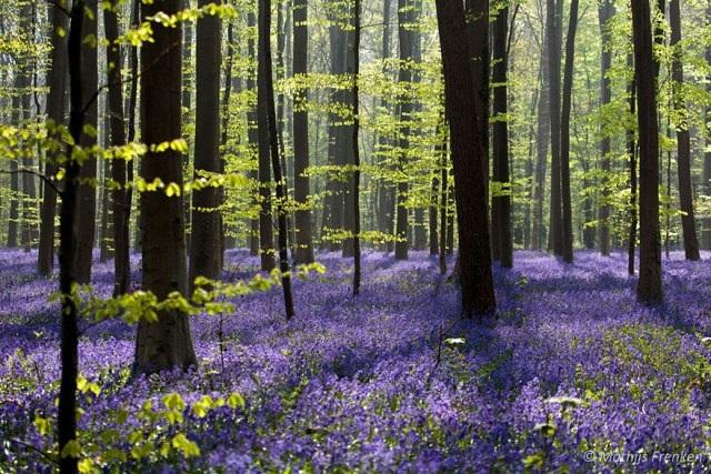 Say đắm vẻ đẹp cánh rừng hoa tím bạt ngàn ở Bỉ - 1