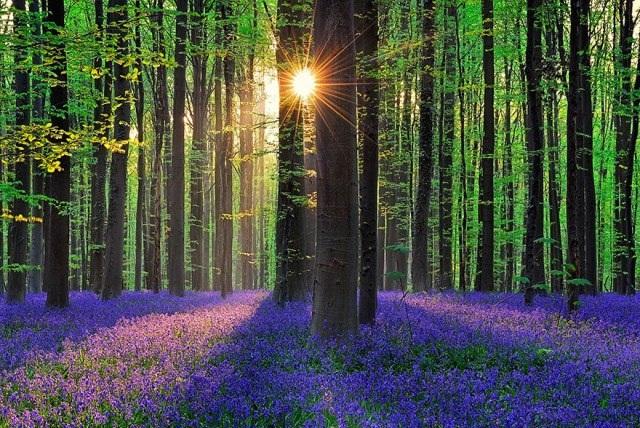 Say đắm vẻ đẹp cánh rừng hoa tím bạt ngàn ở Bỉ - 2