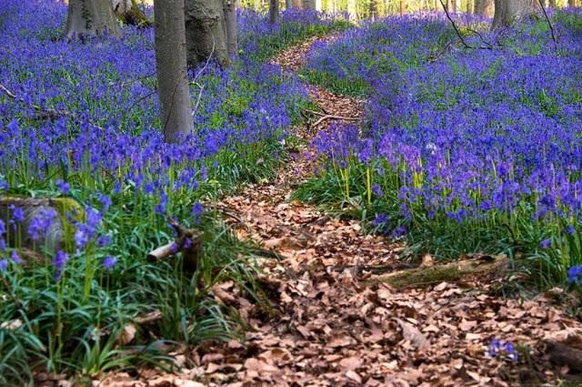 Say đắm vẻ đẹp cánh rừng hoa tím bạt ngàn ở Bỉ - 6