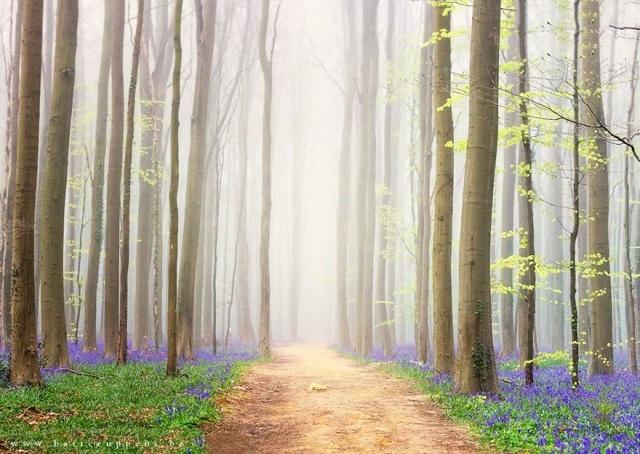 Say đắm vẻ đẹp cánh rừng hoa tím bạt ngàn ở Bỉ - 7