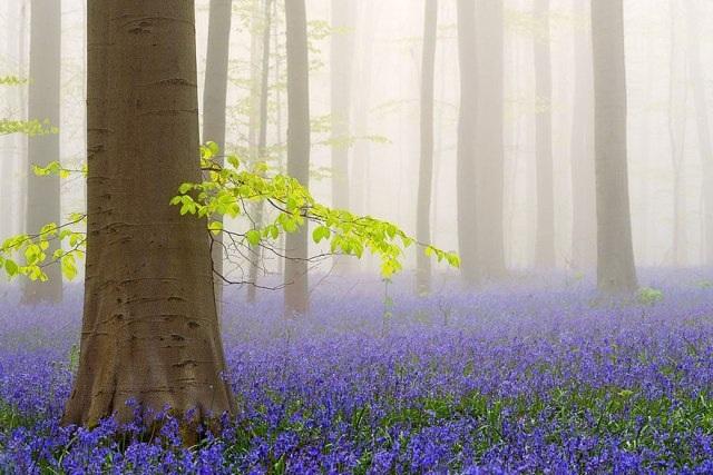 Say đắm vẻ đẹp cánh rừng hoa tím bạt ngàn ở Bỉ - 8