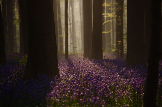 Say đắm vẻ đẹp cánh rừng hoa tím bạt ngàn ở Bỉ - 9