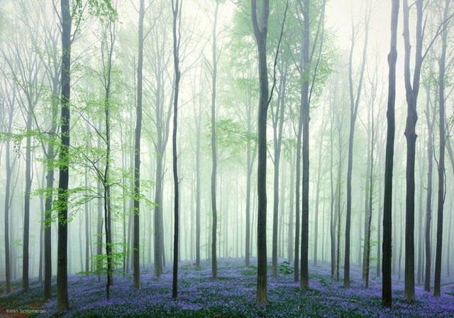 Say đắm vẻ đẹp cánh rừng hoa tím bạt ngàn ở Bỉ - 10