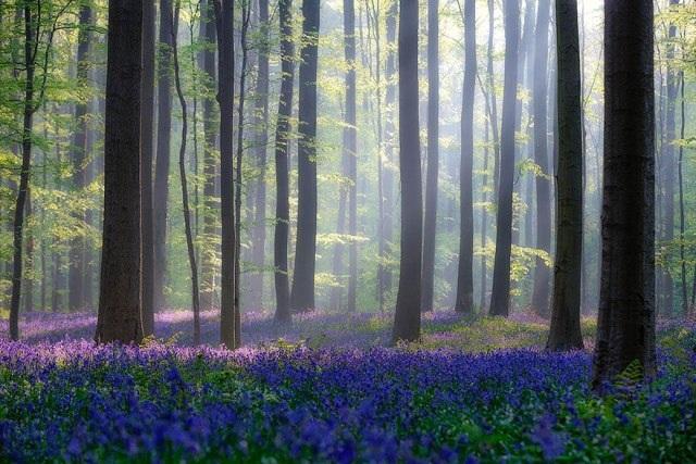 Say đắm vẻ đẹp cánh rừng hoa tím bạt ngàn ở Bỉ - 11