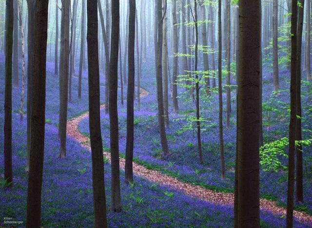 Say đắm vẻ đẹp cánh rừng hoa tím bạt ngàn ở Bỉ - 12