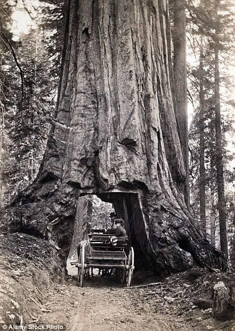 Ảnh chụp năm 1880 cho thấy một xe ngựa đi qua cây Wawona