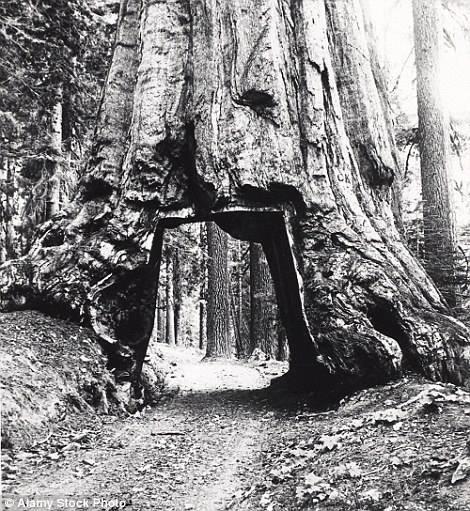 Một cây Sequoia được đặt tên là Chandelier ở Leggett, nằm trong một khu rừng tư nhân cách San Francisco 300km, đường hầm này được hoàn thành vào năm 1937